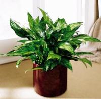Chinese Evergreen by US Funeral Flowers