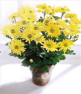 Daisy Chrysanthemum (Lg) by US Funeral Flowers