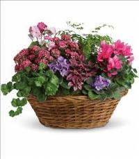 Simply Chic Mixed Plant Basket by US Funeral Flowers