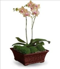 Divine Orchid by US Funeral Flowers
