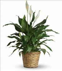 Simply Elegant Spathiphyllum - Medium by US Funeral Flowers