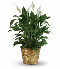 Simply Elegant Spathiphyllum - Large by US Funeral Flowers