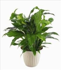 """Peace Lily"" Spathiphyllum Plant by US Funeral Flowers"
