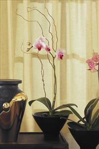 Small Orchid in Sm. Bowl by US Funeral Flowers
